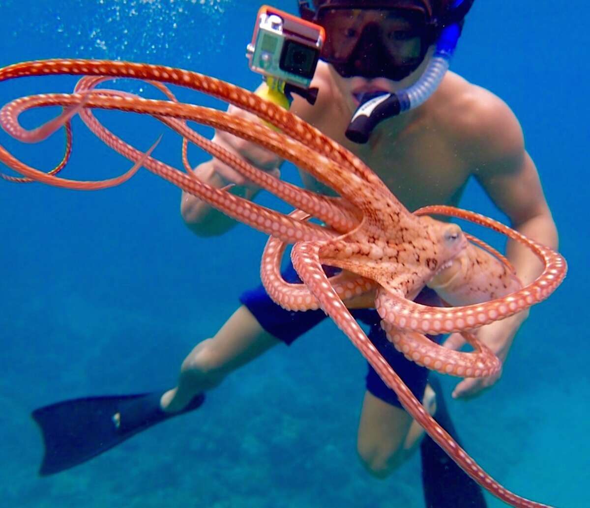 Guests at the Andaz Maui can use the resort's complimentary GoPro video cameras to capture high-definition images of reef creatures like this octopus.