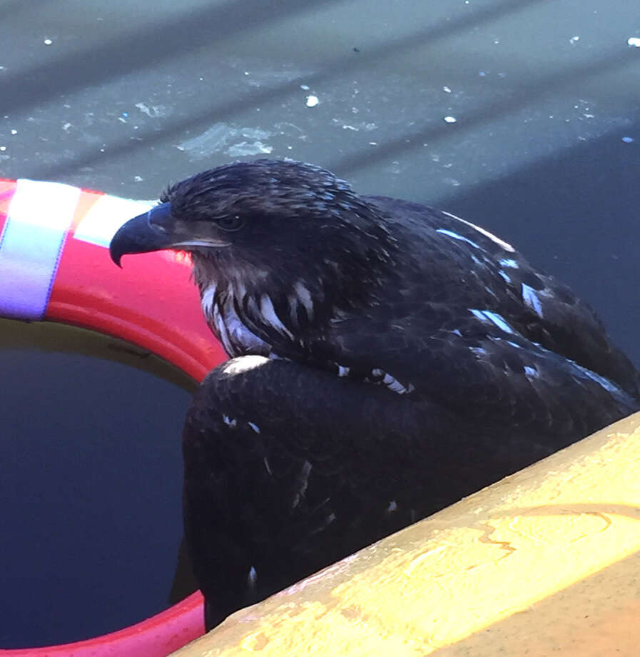 A juvenile bald eagle that was unable to get out of the Mohawk River was rescued by Rotterdam Police Animal Control Officer Timothy Longo at Lock 8 on Monday. It was transferred to the wildlife rescue in Duanesburg, where it will be treated, according to Rotterdam Police. (Rotterdam PD)