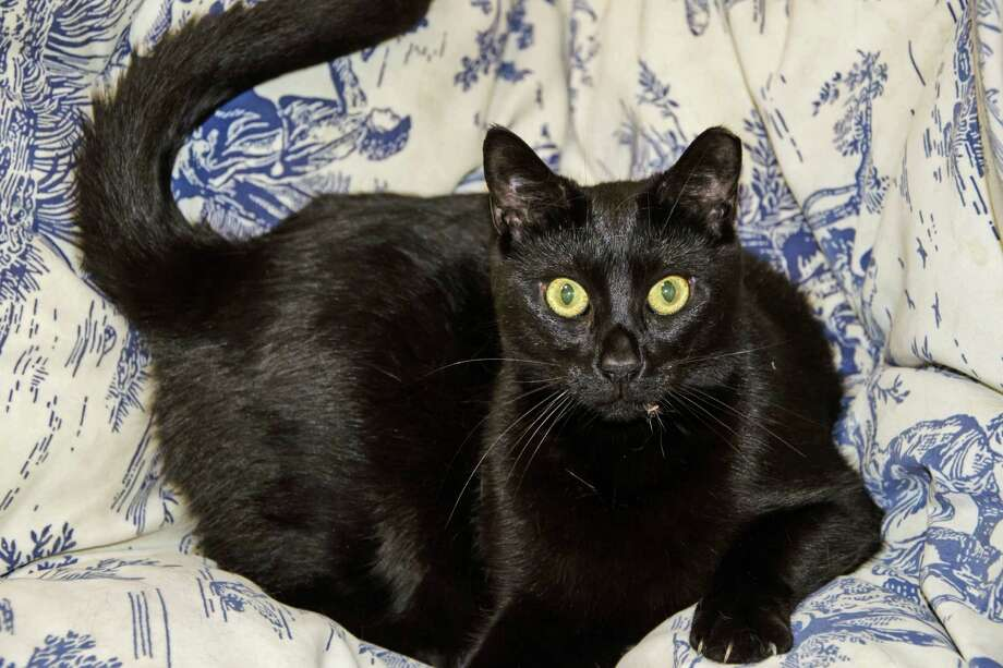 Meet Tabitha, a domestic short hair all-black cat who is about 1 1/2 to 2 years old. She is super sweet, curious and very playful! Tabitha is ready to add some love and laughter into your home. Please call to make an appointment to meet her. Greenwich Animal Controll, 203-622-8299. Photo: Contributed / Contributed Photo / Greenwich Time Contributed