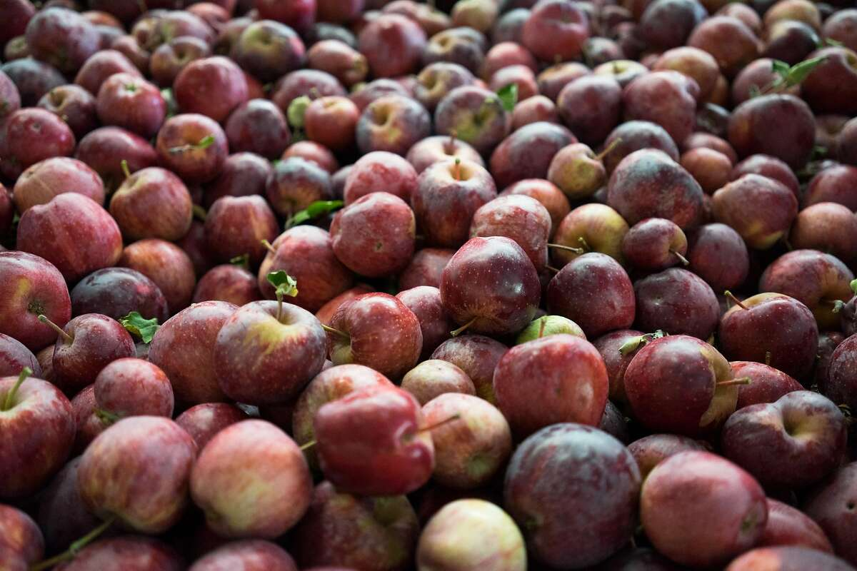 Freshly picked apples are seen at Indigeny in Sonora, Calif. on Thursday, Oct. 8, 2015. The 160-acre distillery features, orchards, tours for the public and picnic areas.