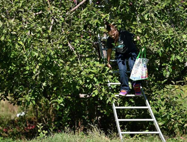 Emily Turriglio climbs from a tree picking apples Monday afternoon, Oct. 12, 2015, at Bowman Orchards in Rexford, N.Y. (Skip Dickstein/Times Union) Photo: SKIP DICKSTEIN / 10033728A