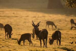 BRISTOL, ENGLAND - OCTOBER 12:  Deer graze in the early morning light at the Ashton Court Estate on October 12, 2015 in Bristol, England. Parts of the UK are set to have a period of settled weather once again due to a high pressure system leading to a number of fine and dry days for some.  (Photo by Matt Cardy/Getty Images) *** BESTPIX ***