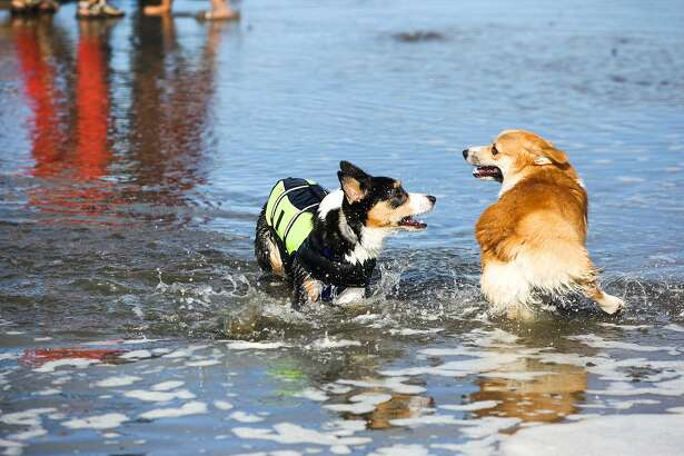 Corgis played in the ocean during the Northern California annual Corgi Con celebration at Ocean Beach in San Francisco, California on Saturday, October 10, 2015.