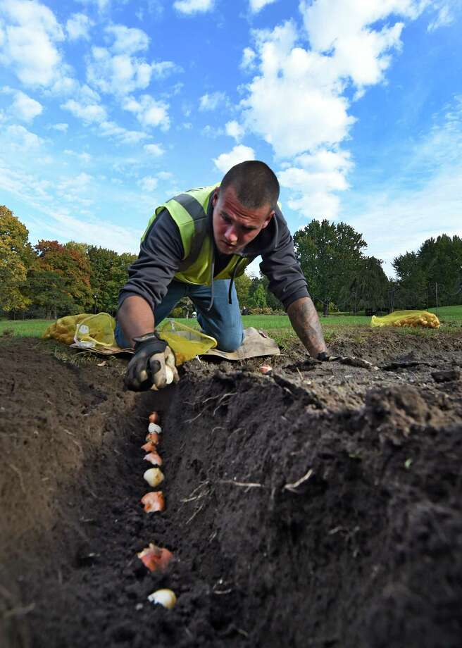 Justin Kelley from Albany's Department of General Services plants spring tulip bulbs in Washington Park Tuesday morning, Oct. 13, 2015, in Albany, N.Y.  According to garden crew supervisor Jes Morgan, DGS crews will plant 137,000 tulips and 40,000 other spring bulbs at beds in the City of Albany.  (Skip Dickstein/Times Union) Photo: SKIP DICKSTEIN
