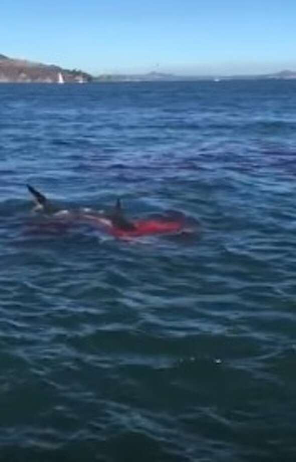 """San Antonio resident Meredith Shindler shot this video of a great white shark attacking a seal in San Francisco Bay. She said the 10-foot-long shark ate the seal in its mouth """"literally feet from us."""" Photo: YouTube Screenshot"""