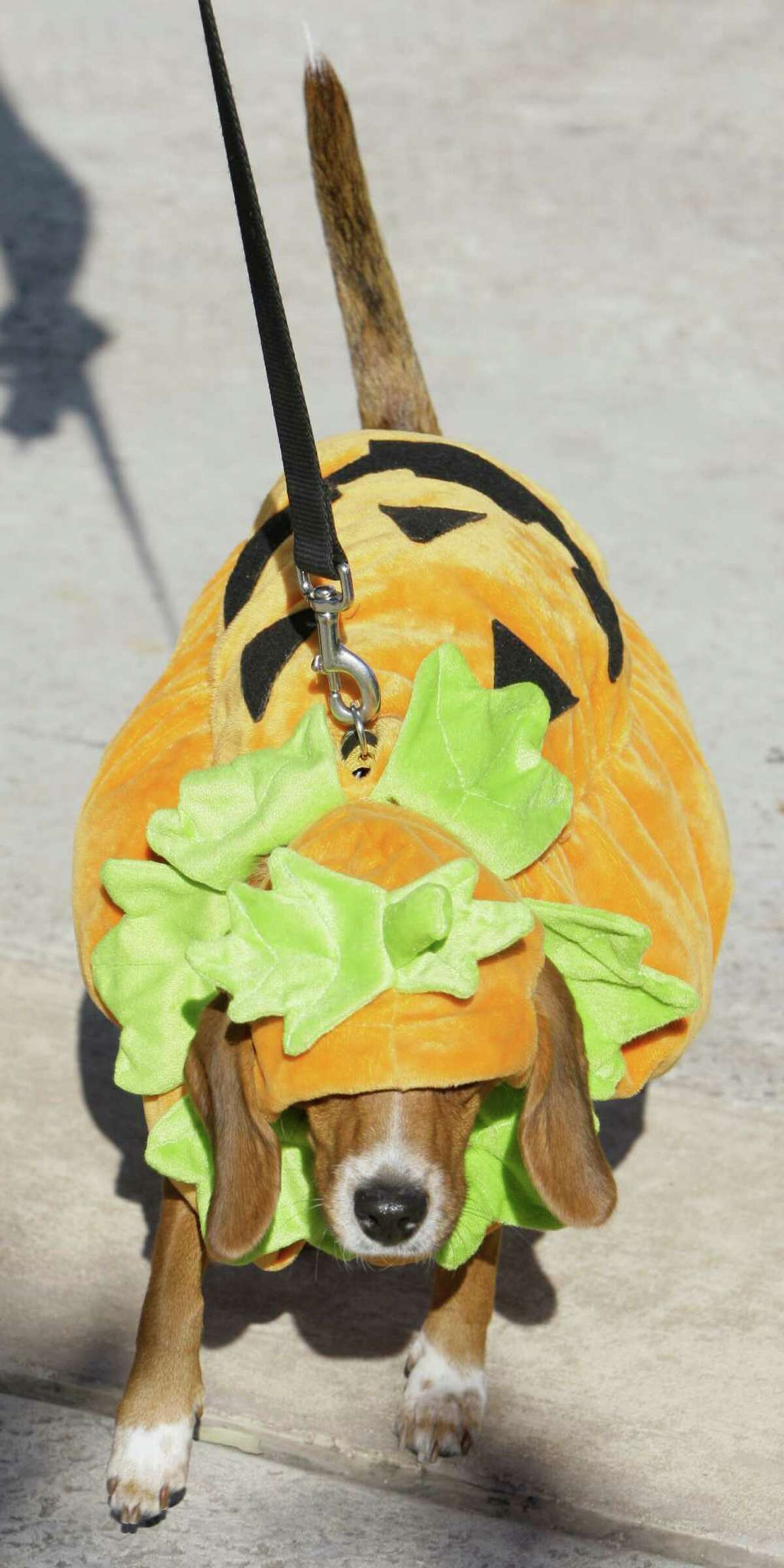 Pumpkins are the most popular pet costume this Halloween, according to the National Retail Federation. ( Melissa Phillip / Chronicle )