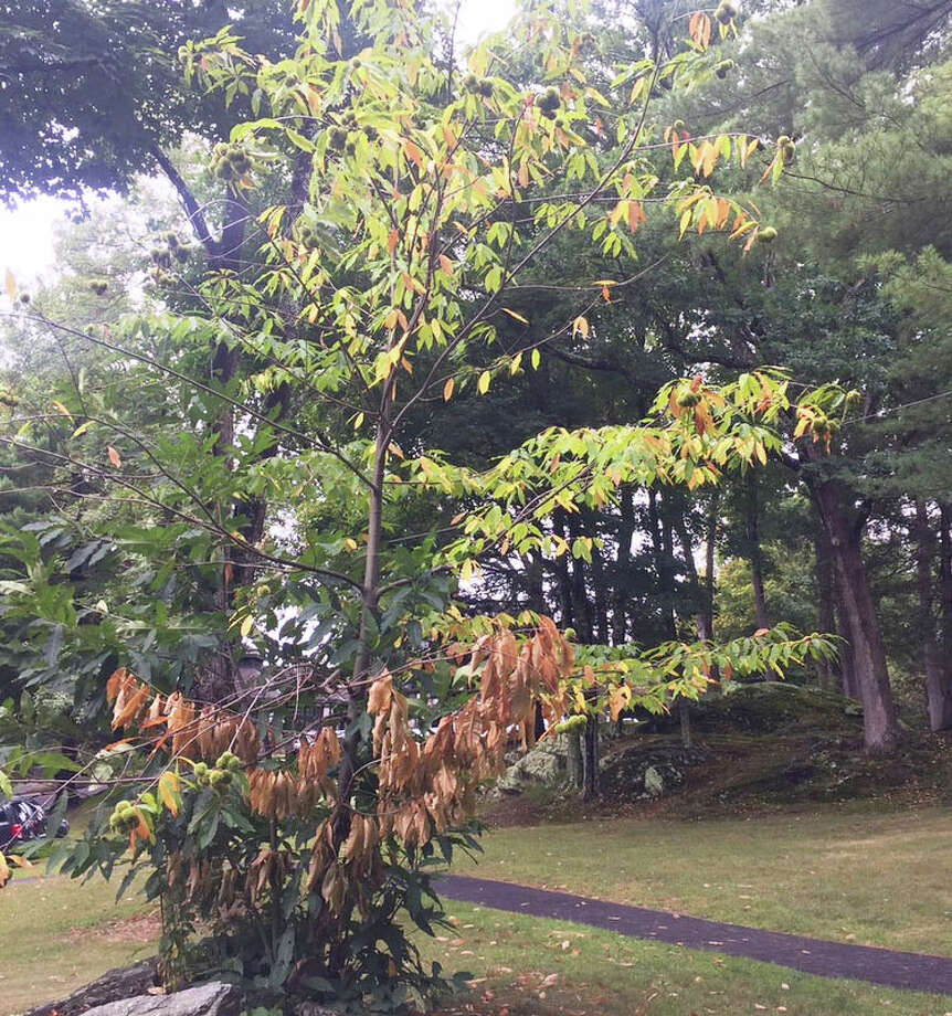 A small American Chestnut tree on the grounds of The Gunnery in Washington has produced fruits. Photo: Contributed Photo / The News-Times Contributed