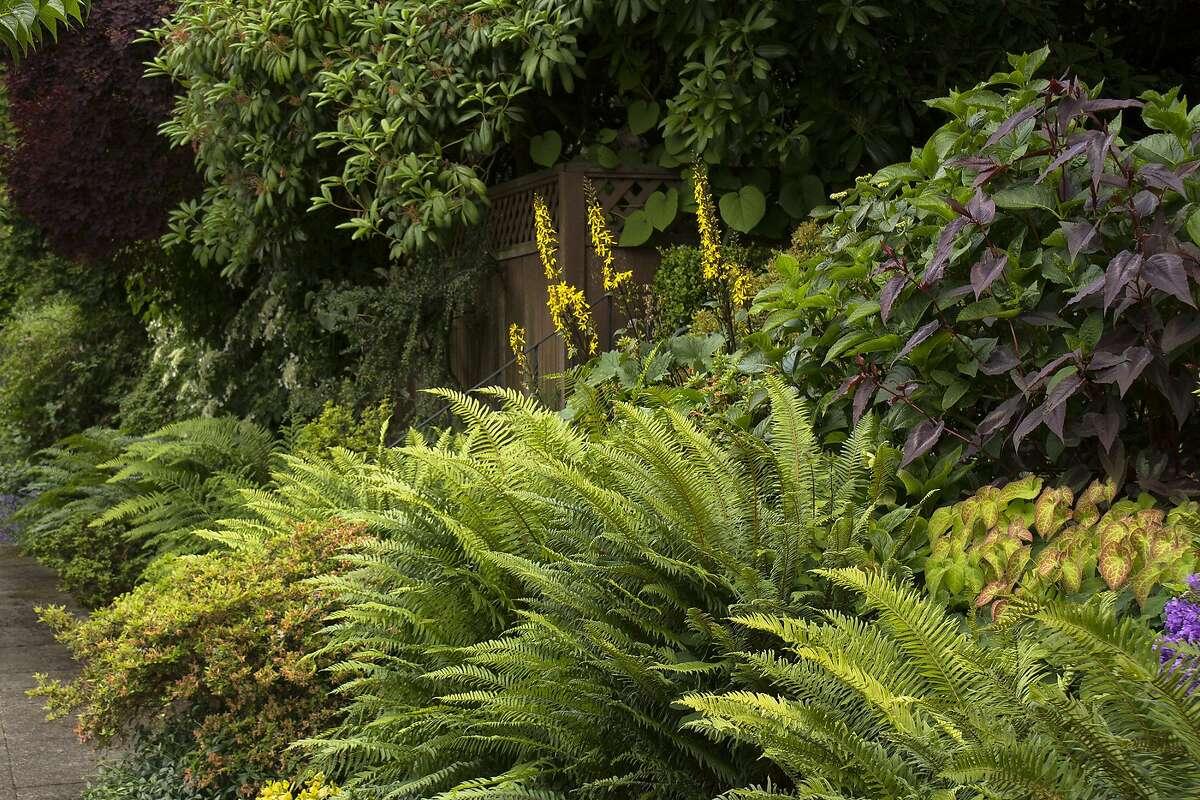 Polystichum munitum (Western Sword fern). Credit: Doreen Wynja for Monrovia