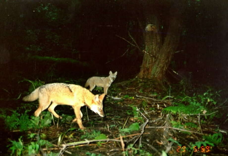 In this 2001 photo from the New York State Museum, a couple of coyotes walk in the Pinebush in Albany, NY. It was taken by a camera trap.