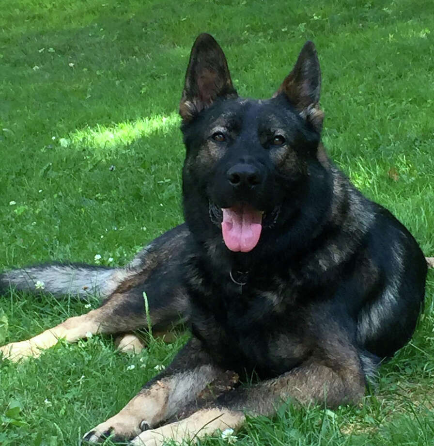 Kato, the Greenwich PD K9 officer. Photo: /