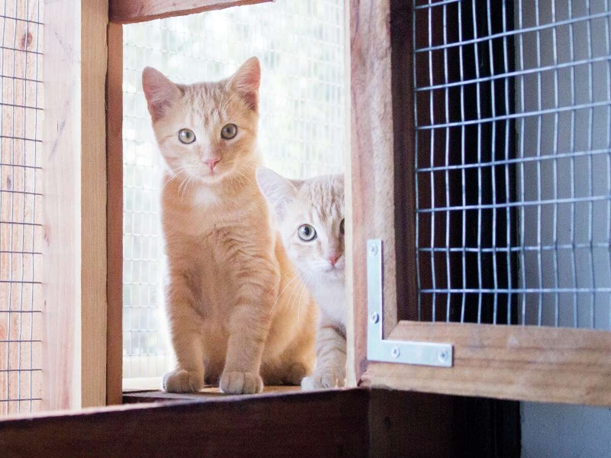 Kittens at the Sonoma County Wildlife Rescue frolic in their new indoor/outdoor catios.