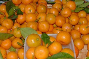 A well planned selection of citrus will provide fruit from the end of summer through the first of the New Year.