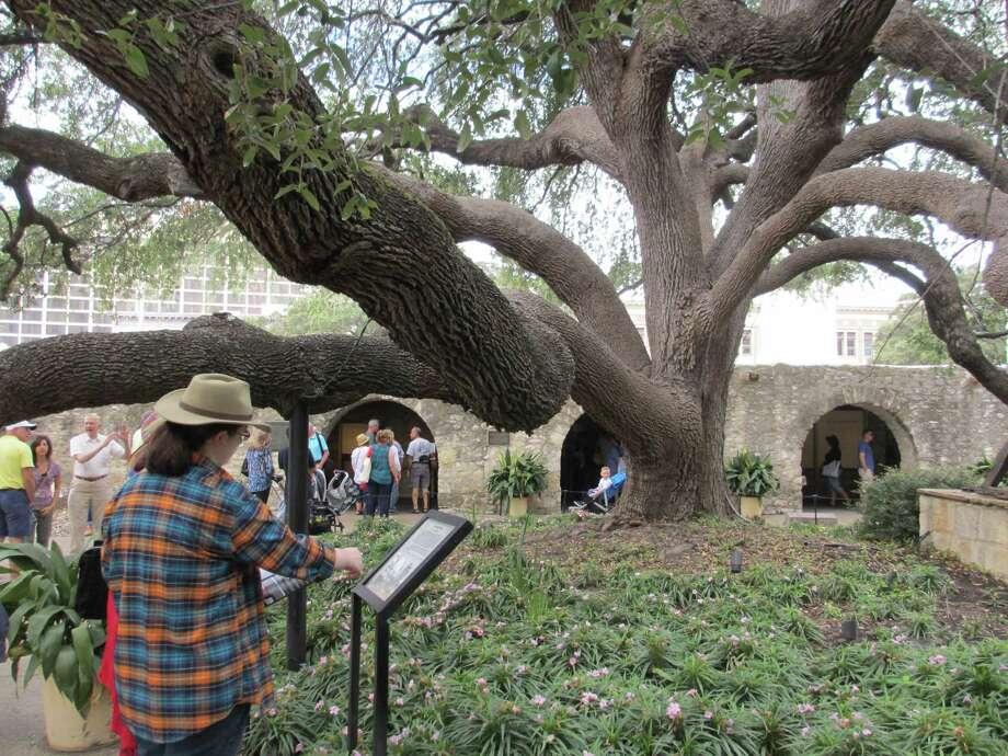 giant transplanted live oak still thrives on alamo grounds san antonio express news. Black Bedroom Furniture Sets. Home Design Ideas