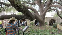 Visitors wandering the Alamo grounds often stop and read the sign aloud near the transplanted live oak tree that explains that it was already about 40 years old when it was transplanted to this spot in 1912. Some of its heavy sprawling branches are supported with cables or poles. Some limbs arch out as much as 50 feet and rest on the ground.