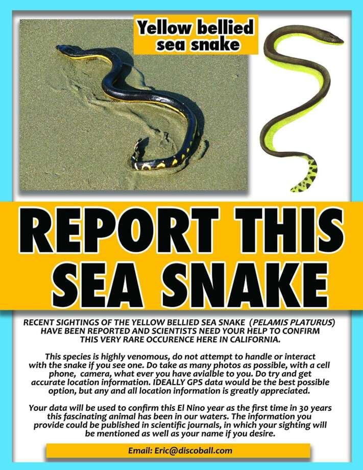 in rare sightings venomous sea snakes seen on california beaches