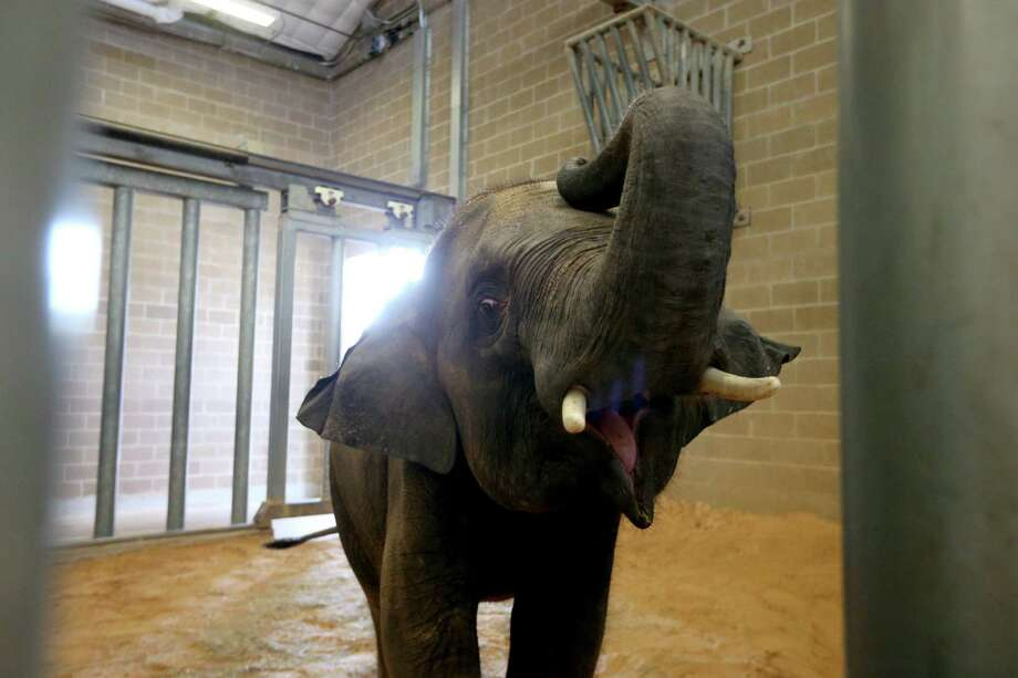 Baylor is a 5-year-old Asian Elephant in the elephant barn at the Houston Zoo. ( Gary Coronado / Houston Chronicle ) Photo: Gary Coronado, Staff / © 2015 Houston Chronicle