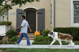 After taking his CBD medicine Moose, an 10 year old 120-pound St. Bernard, goes for a walk with Michael Leung and Suzanne Kisting in San Jose, Calif., on Saturday, Oct. 18,  2015. He takes two 1ml doses of the CBD medicine every day with a mild pain killer to help with the pain of arthritis.