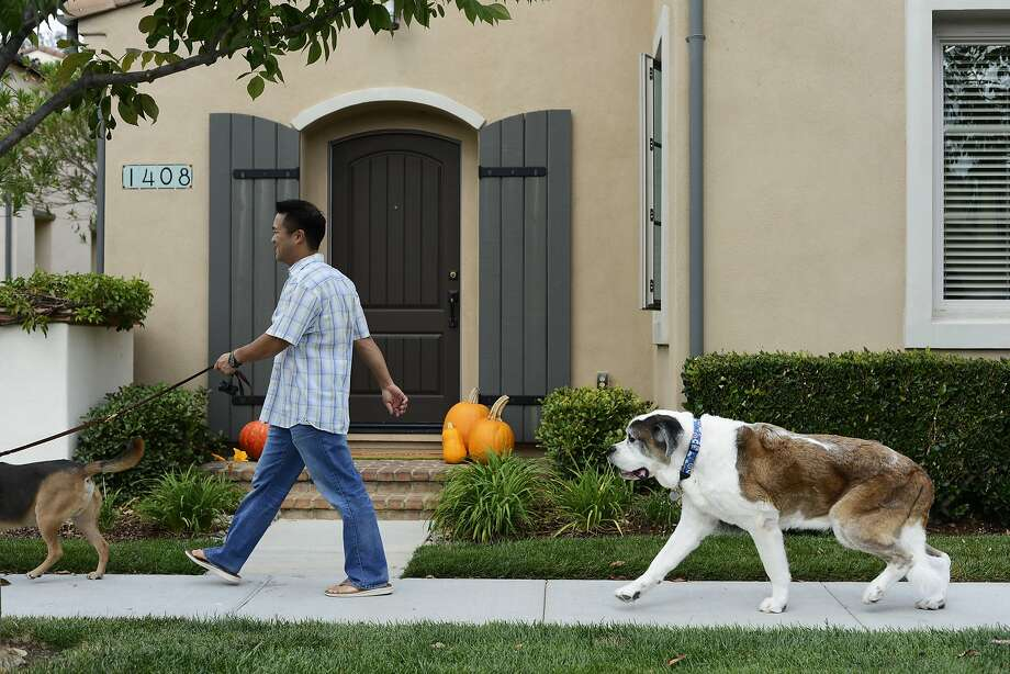 After taking his CBD medicine Moose, an 10 year old 120-pound St. Bernard, goes for a walk with Michael Leung and Suzanne Kisting in San Jose, Calif., on Saturday, Oct. 18,  2015. He takes two 1ml doses of the CBD medicine every day with a mild pain killer to help with the pain of arthritis. Photo: Brandon Chew, Special To The Chronicle