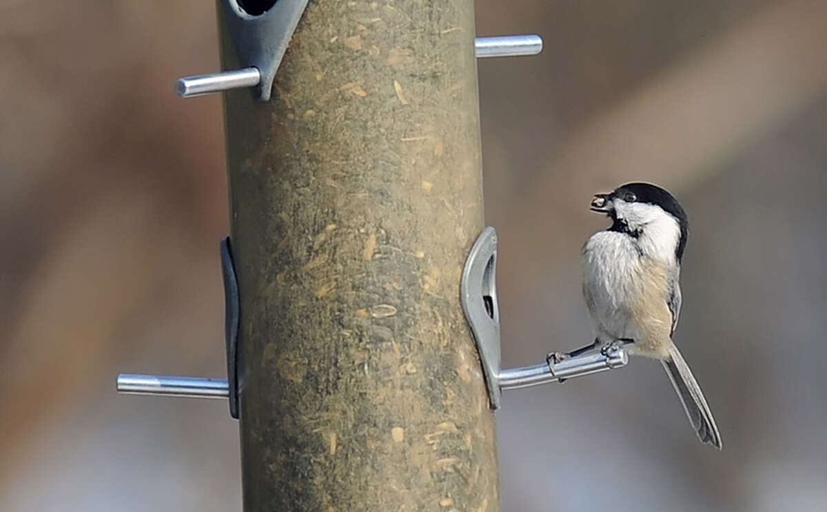 A black-capped chickadee grabs a sunflower seed.