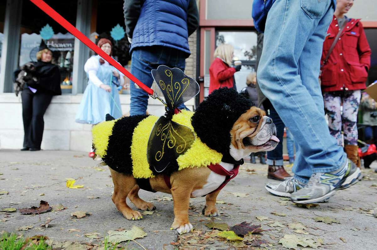 Pumpkin, an English bull dog, from Saratoga Springs, is dressed as a bumble bee at the Sloppy Kisses of Saratoga costume Howl-O-Ween Parade on Sunday, Oct. 18, 2015, in Saratoga Springs, N.Y. This was the tenth year that the dog boutique held the costume parade and contest for dogs and their owners. (Paul Buckowski / Times Union)