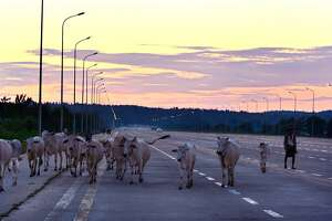 A herder walks with cows on a Naypyitaw highway, in the capital Naypytaw, Myanmar, Sunday, Oct. 18, 2015.(AP Photo/Aung Shine Oo)