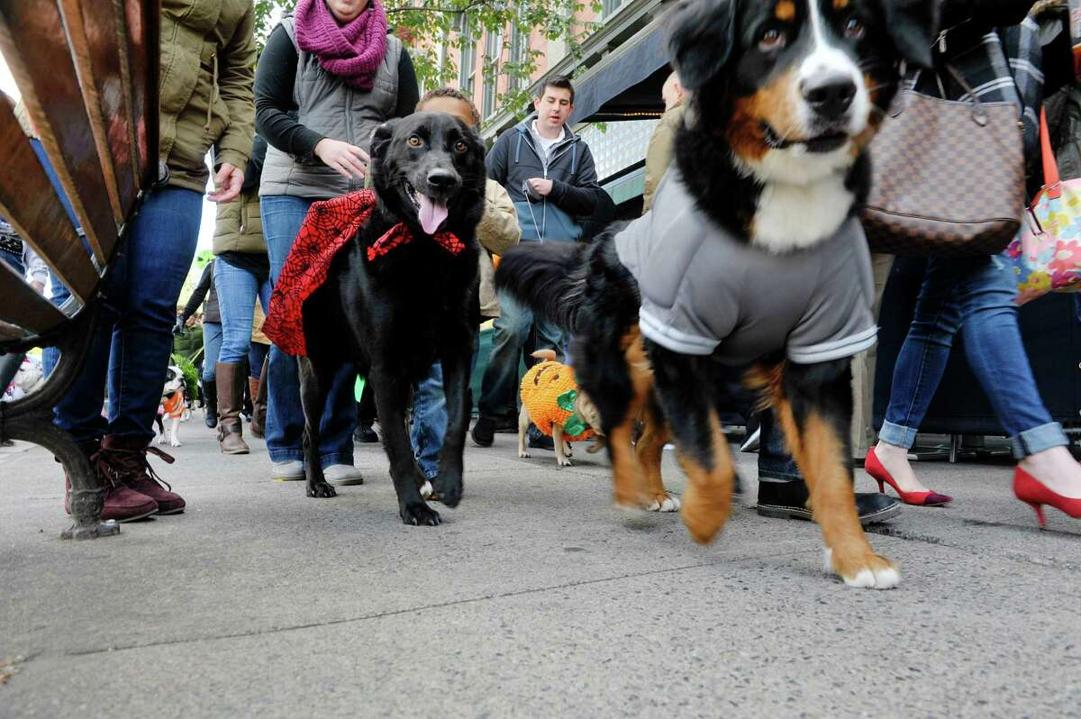 Dogs in costumes parade through downtown at the Sloppy Kisses of Saratoga costume Howl-O-Ween Parade on Sunday, Oct. 18, 2015, in Saratoga Springs, N.Y. This was the tenth year that the dog boutique held the costume parade and contest for dogs and their owners. (Paul Buckowski / Times Union)