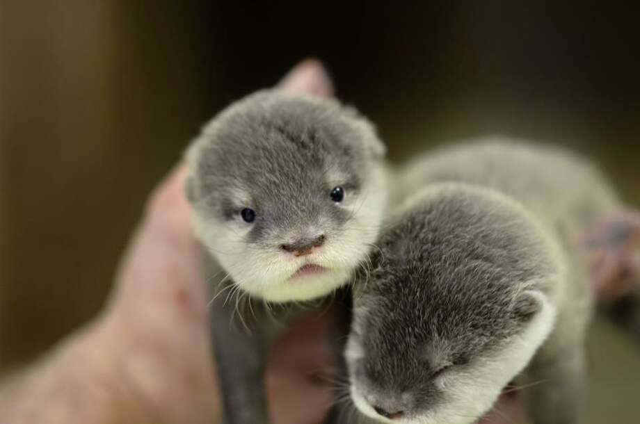 Four Asian small-clawed otters were born at the Animal World and Snake Farm Zoo in New Braunfels, the park announced Oct. 18, 2015. Photo: Animal World And Snake Farm Zoo