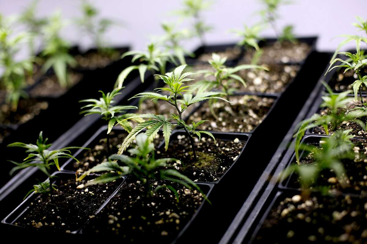 Organic clones of the cannabis sativa strain called train wreck at Marin Alliance for Medical Marijuana in Fairfax, Calif., Friday, November 11, 2011. The shop is fighting new federal efforts to close it after being in business for 15 years.