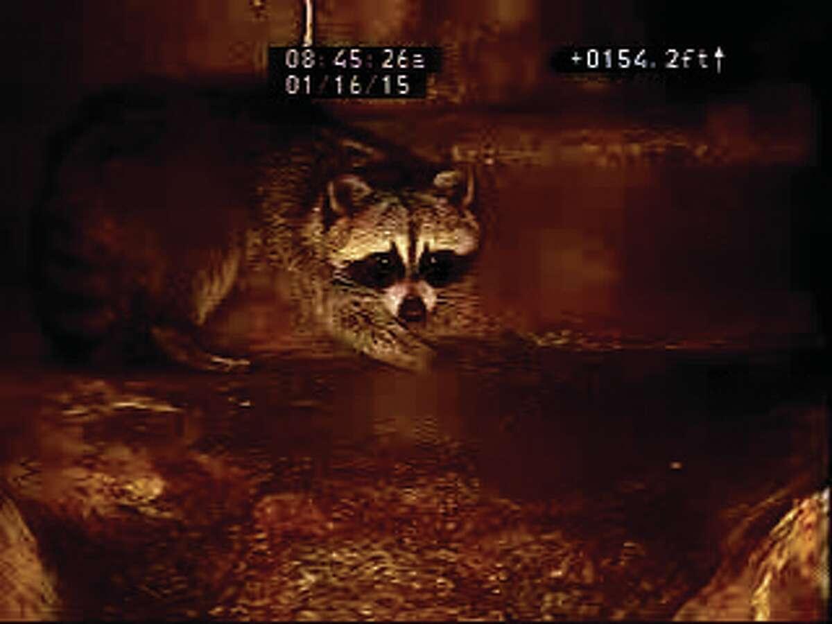 A raccoon inside of a San Antonio sewer.