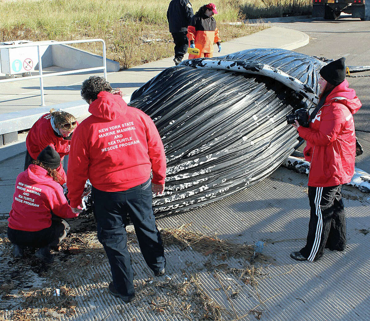 A dead humpback whale is examined after it was found in Long Island Sound off Huntington, N.Y., on Saturday.