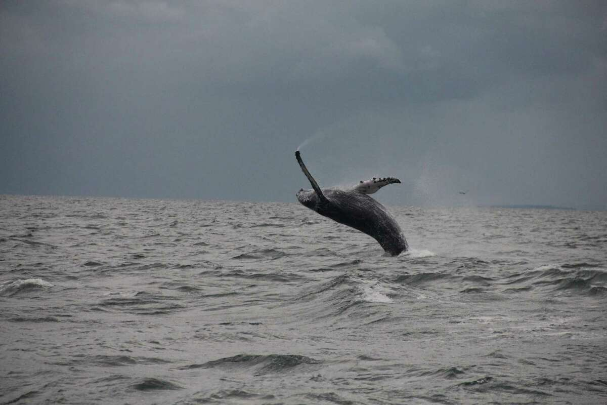 Dan Lent, a boater from Easton, sighted two whales off Long Island Sound earlier this month. He took this photo of a humpback whale off Stamford and Greenwich on Sept. 12, 2015.