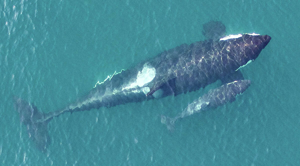 An overhead image of the newest member of the Southern Resident killer whale population, L122, just days after being born to first-time mother L91.