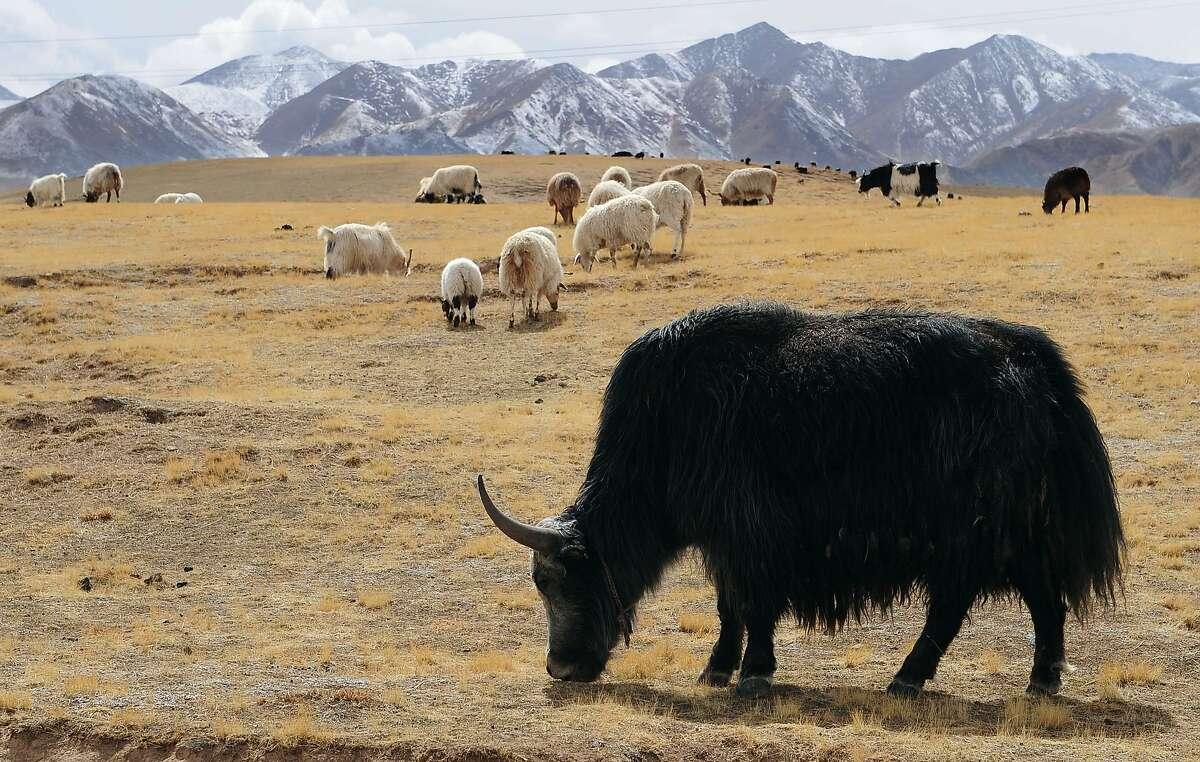 """(FILES) In this photograph taken on April 19, 2010, Yaks and sheep graze on grasslands outside of Gonge in Hainan Tibetan Autonomous Prefecture on the Qinghai-Tibet plateau in northwest China's Qinghai province. Also called the """"roof of the world"""", the high-altitude plateau in Central Asia which covers most of the Tibetan Autonomous Region, Qinghai Province and Ladakh in Kashmir, India is the world's highest and biggest plateau with an average elevation of 4,500 meters. The Dalai Lama on October 20, 2015, has urged the world to protect Tibet from global warming, saying his Himalayan homeland was crucial to the health of the world. The exiled spiritual leader called on the younger generation to play a more active role in fighting climate change as he launched a campaign by the Tibetan leadership ahead of crunch talks beginning in Paris next month. AFP PHOTO/ Frederic J. BROWN/FILESFREDERIC J. BROWN/AFP/Getty Images"""