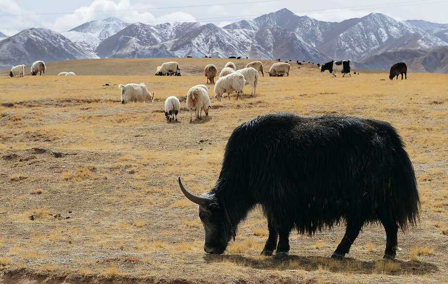 Yaks and sheep graze on grasslands in Tibet. Photo: Frederic J. Brown, AFP / Getty Images