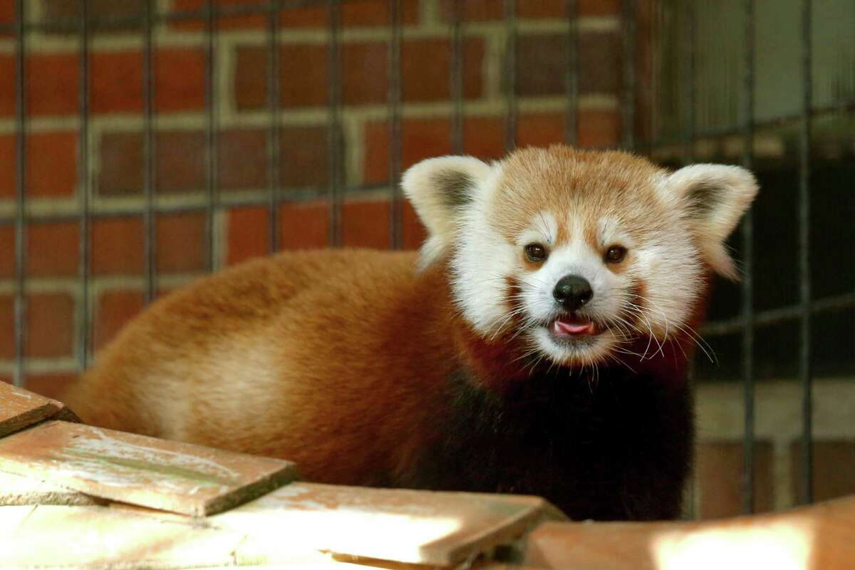 Rochan, a 16-month old Red panda, has moved to Bridgeport while his home at the Franklin Park Zoo in Boston is being renovated.