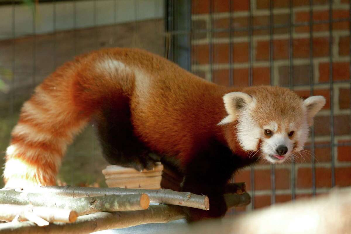 Rochan, a 16-month old Red panda has moved to Bridgeport while his home at the Franklin Park Zoo in Boston is being renovated.