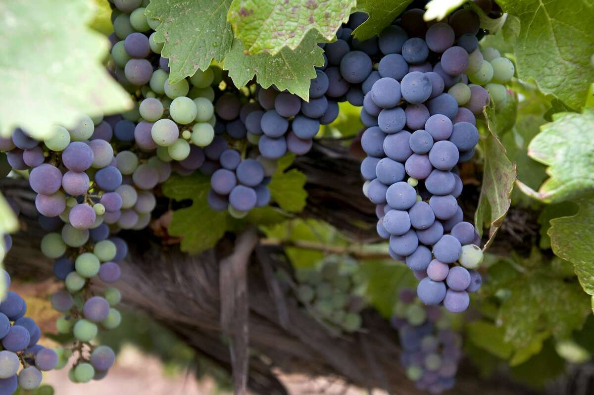 Cabernet Sauvignon grapes hang from the vines at Heller Estates winery and vineyards in Carmel Valley.