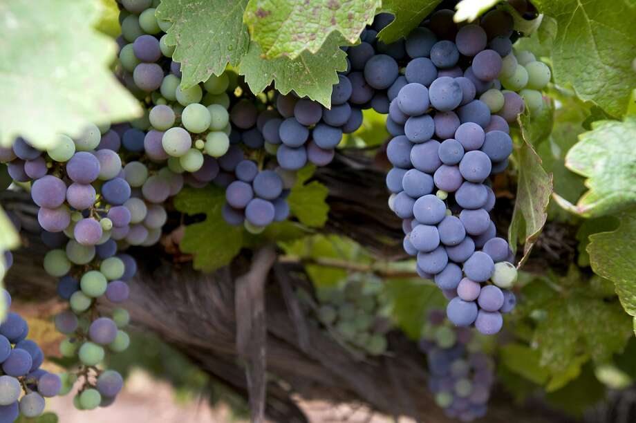 Cabernet Sauvignon grapes: All grapes have pyrazines (compounds that contribute green-tasting flavor in wines), but the highest levels appear in the Bordeaux grape varieties, which happen to be those that have thrived in Napa: Cabernet Sauvignon, Sauvignon Blanc, Cabernet Franc, Merlot and so on. Photo: Chad Ziemendorf, The Chronicle