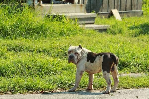 El fenómeno de los perros callejeros s un problema prevalente en Houston, particularmente en vecindarios con mucha población de minorías.