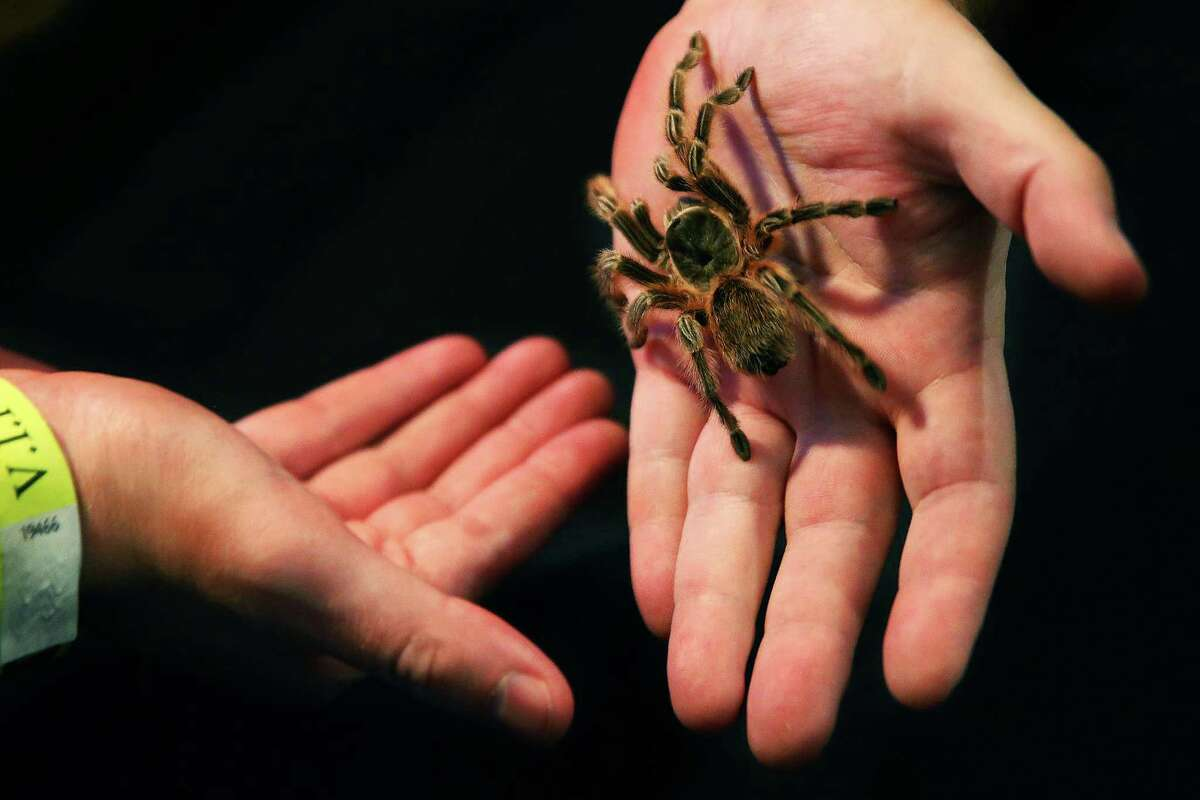 Jack Mudge hands a tarantula (Grammostola species Maule) over to a visitor at the Burke Museum's Creepy-Crawly Cocktails event, Thursday, Oct. 22, 2015. Guests were able to get up close and personal with snakes, snails, bats and other creepy critters.