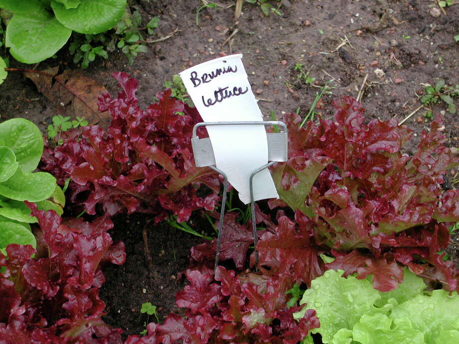 Lettuce can be one of the most beautiful plants you grow. Choose colors from deep red to deep green or streaks or spots, and plant a mural or patchwork quilt to cover the bed. Shown is Brunia lettuce. Photo: Bob Randall