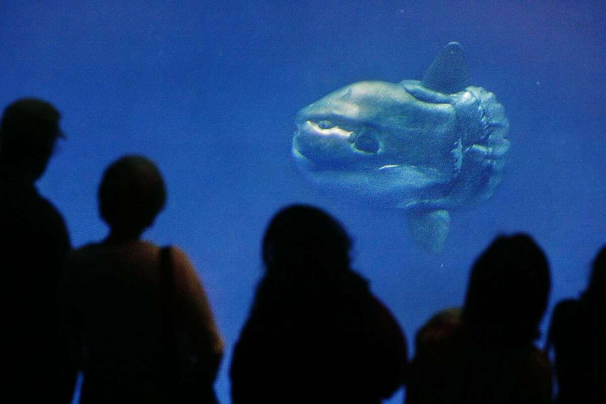 A Mola Mola, or Sunfish, at Monterey Bay Aquarium can be seen in this 2006 photot. Kat Wade/The Chronicle