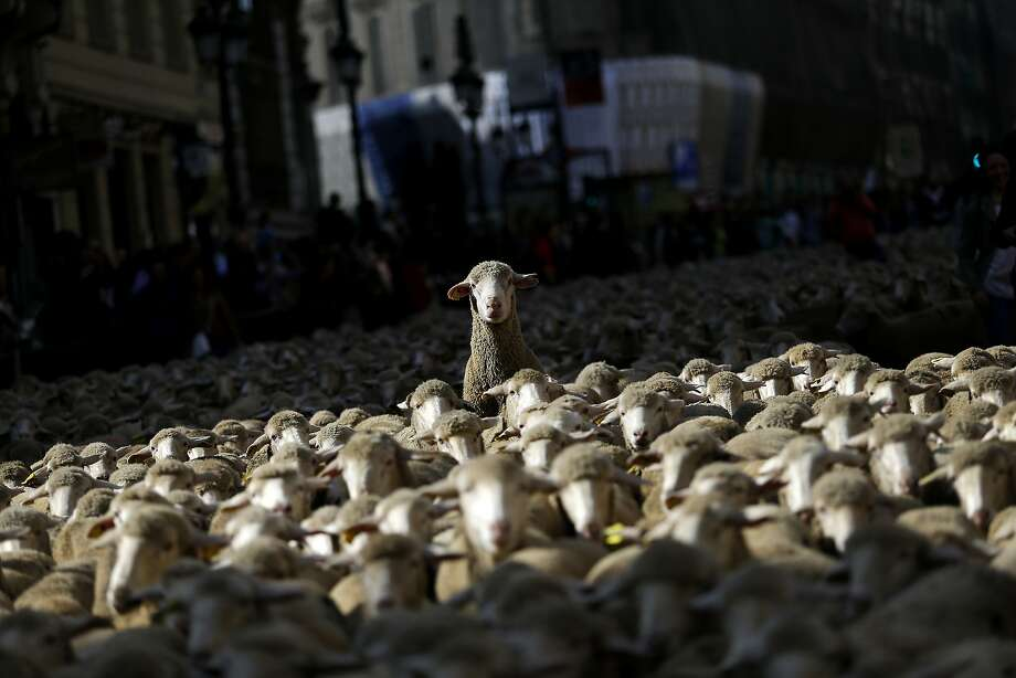Sheep are led by shepherds through Madrid city centre, Spain, Sunday, Oct. 25, 2015. Shepherds guided a flock of around 2,000 sheep through Madrid streets in defence of ancient grazing, droving and migration rights increasingly threatened by urban sprawl and modern agricultural practices. Photo: Francisco Seco, Associated Press