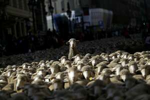 Sheep are led by shepherds through Madrid city centre, Spain, Sunday, Oct. 25, 2015. Shepherds guided a flock of around 2,000 sheep through Madrid streets in defence of ancient grazing, droving and migration rights increasingly threatened by urban sprawl and modern agricultural practices. (AP Photo/Francisco Seco)