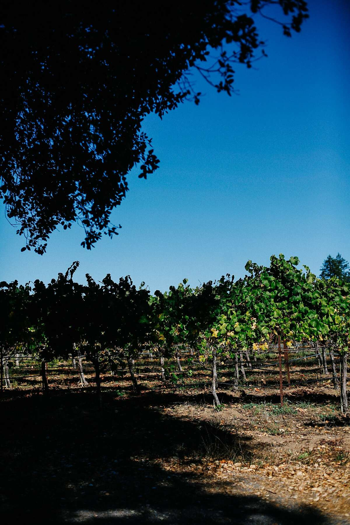 One of the blocks at the Cobb vineyard in Occidental.