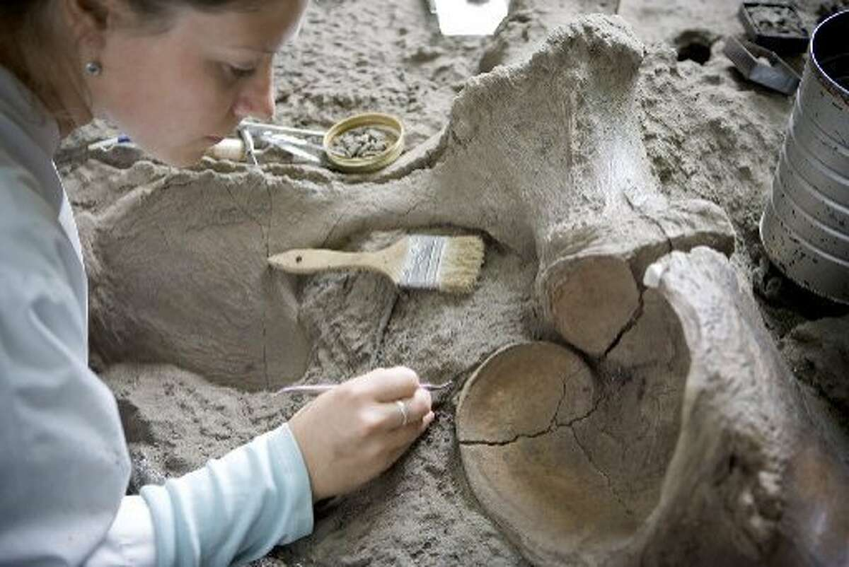 Aisling Farrell cleans a Columbian mammoth pelvis at the La Brea Tar Pits.