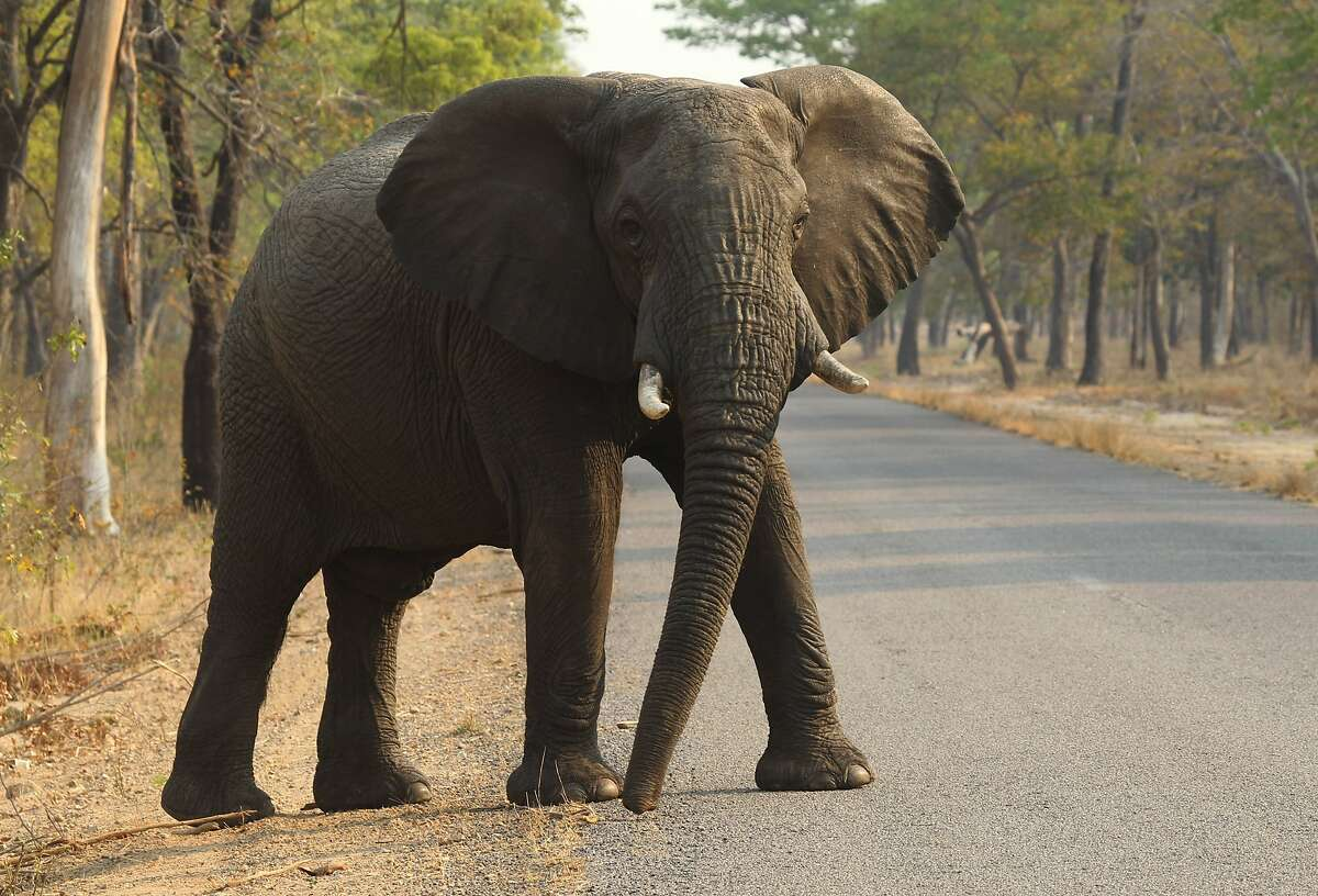 FLIE- In this photo taken on Thursday, Oct. 1, 2015, an elephant crosses the road in Hwange National Park, about 700 kilometers south west of Harare, Zimbabwe. Cyanide poisoning has killed 22 elephants in Zimbabwe's Hwange National Park, the Zimbabwe National Parks and Wildlife Management Authority said on Monday Oct. 26, 2015. This brings to 62 the number of elephants poisoned by poachers in this southern Africa country in October. (AP Photo/Tsvangirayi Mukwazhi, FILE)