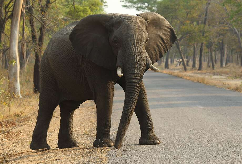 In this photo taken on Thursday, Oct. 1, 2015, an elephant crosses the road in Hwange National Park, about 700 kilometers south west of Harare, Zimbabwe. Cyanide poisoning has killed 22 elephants in Zimbabwes Hwange National Park, the Zimbabwe National Parks and Wildlife Management Authority said on Monday, Oct. 26, 2015. This brings to 62 the number of elephants poisoned by poachers in this southern Africa country in October. Photo: Tsvangirayi Mukwazhi, Associated Press
