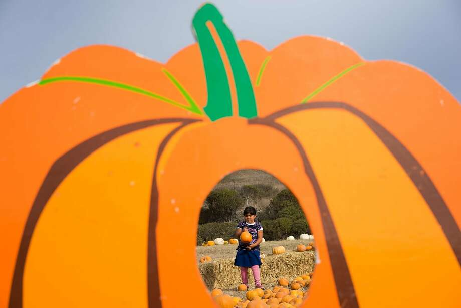 Five-year old Sarah Galdos-Piedra picks a pumpkin at Rodoni Farms in Santa Cruz, Calif. on Tuesday, Oct. 27, 2015. Due to the drought and excessive heat pumpkins have been scarce. Photo: James Tensuan, Special To The Chronicle