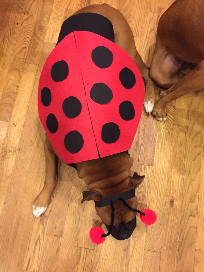 Ava the Boxer shows off a DIY ladybug costume.  Photo: Joy Sewing